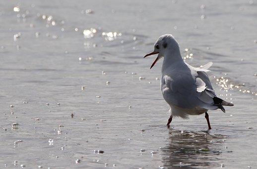 Möve, Bird, Nature, Animal, Water, Seagull, Flying