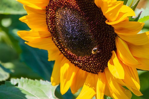 Sunflower, Yellow, Summer, Nature, Blossom, Bloom