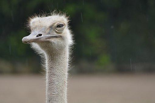 Ostrich, Animal, Zoo, Rain, Bird, Head, Flightless Bird