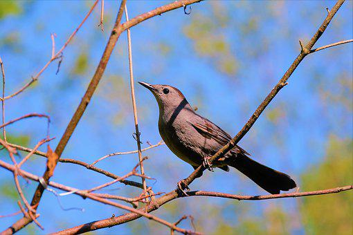 Bird, Catbird, Gray, Perched, Blue Sky, Songbird