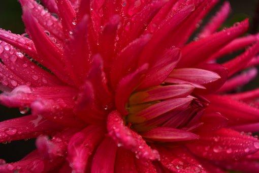 Dahlia, Rain, Petals, Flower, Pink, Color, Bloom