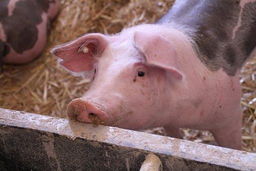 Pig, Stall, Livestock, Dirty, Piglet, Pet, Pigs