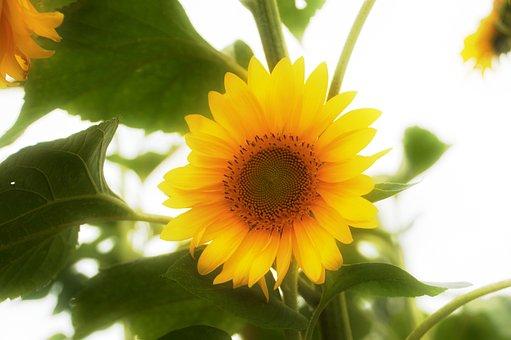 Sunflower, Flower, Sun, Yellow, Nature, Summer, Plants