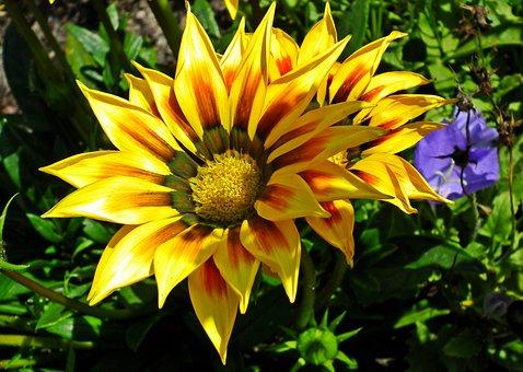 Gazania, Flowers, Nature, Summer, Garden, Macro