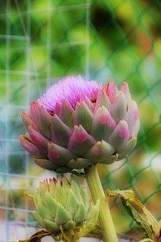 Artichoke, Vegetable, Kitchen, Food, Garden