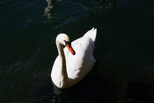 Swan, White, Water, Nature, Animal, Bird, Water Bird
