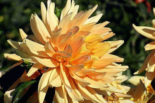 Dalia, Georgia, Wheatgrass, Perennial, Garden, Flower