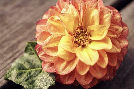 Dahlia, Blossom, Bloom, Garden, Dahlia Garden, Yellow