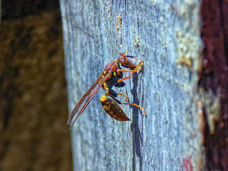 Wasp, Insect, Bee, Wing, Spring, Garden, Yellow, Hornet