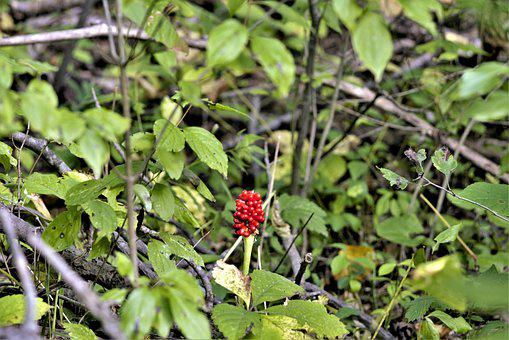 Flower, Red, Berry Flower, Alone, In The Woods, Woods