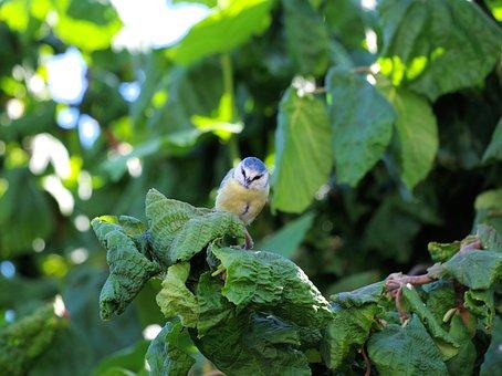 Blue Tit, Bird, Songbird, Cute, Garden