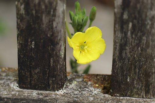 Pink Evening Primrose, Yellow, Blossom, Bloom, Common