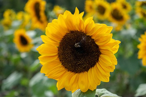 Flower, Sunflower, N, Yellow, Blossom, Nature, Plant