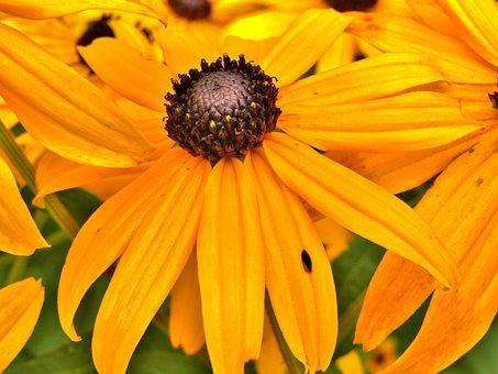 Flower, Yellow, Sunflower, Small, Coneflower, Brown