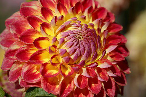 Dahlia, Blossom, Bloom, Dahlia Flower, Petals