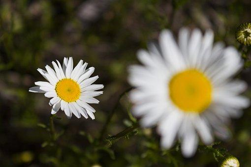 Daisy Flower, Flower, Spring, Nature, White, Plant