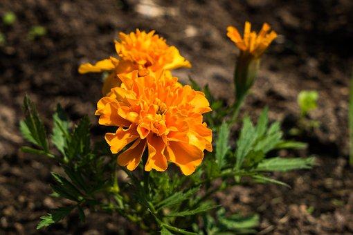 Barhotki, Flowers, Petals, Nature, Spring, Garden
