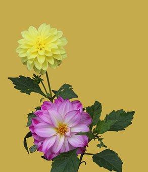 Flowers, Dahlia, Bloom, Garden, Blossom, Header, Nature