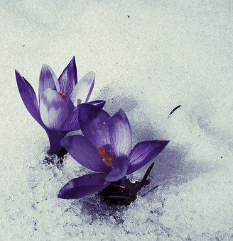 Flowers, Snow, Winter, Cold, Frozen, Flower, Ice