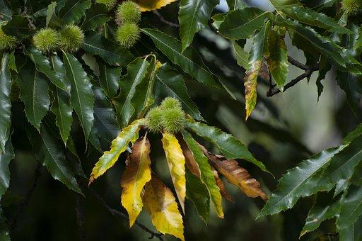 Chestnut, Tree, Foliage, Prickly