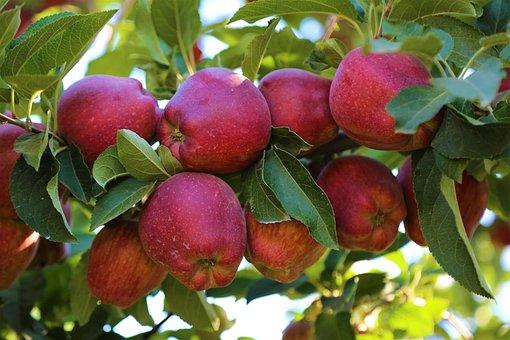 Apple, Fruit, Garden, Healthy, Fresh, Delicious, Food