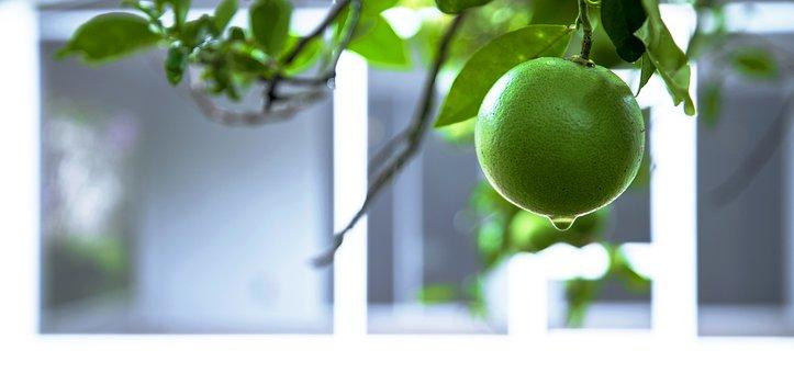 Citrus, Orange, Lemon, Lime, Fruit, Tree, Nature