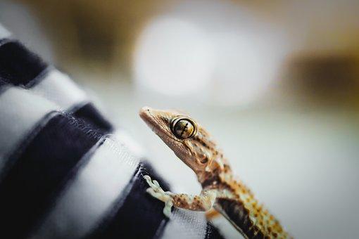 Gecko, Lizard, Reptile, Animal, Iguana, Creature