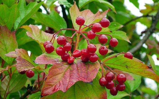 Viburnum, Fruit, Red, Jagoda, Garden, Nature, Plant