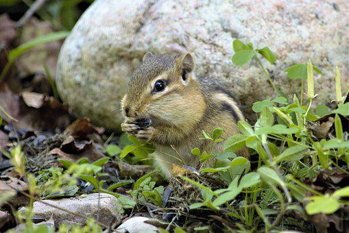 Chipmunk, Eating, Jowls, Holding Seeds, Standing