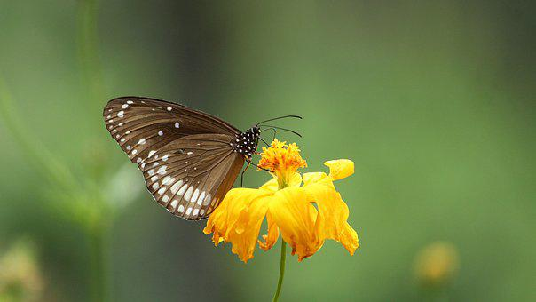 Kerala, India, Euploea Core, Common Crow Butterfly
