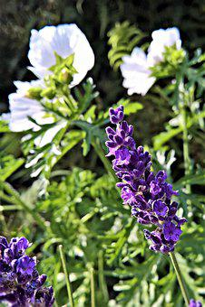 Lavender, Lavandula, Ornamental Plant, Medicinal Herb