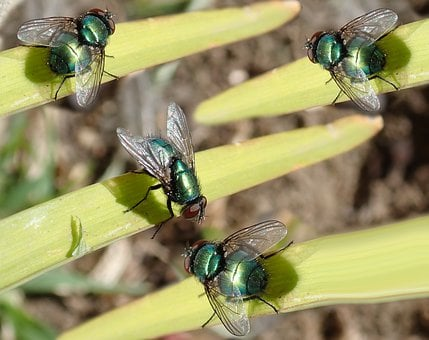Flies, Green, Insects, Pests, Leaves, Garden, Nature