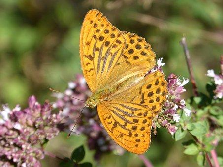 Butterfly, Melitaea Deione, Damer Dels Conillets, Libar