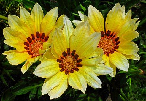 Gazanie, Flowers, Summer, Nature, Macro, Decorative