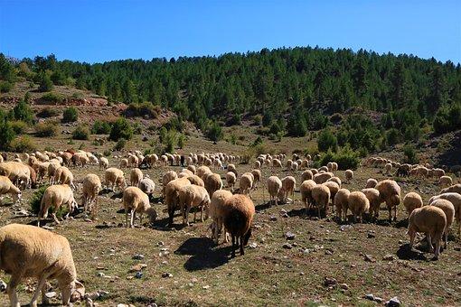 Sheep, Animal, Herd, Grassland, Mammal, Nature, Rural