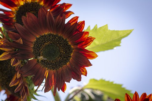 Sunflower, Fall, Garden, Nature, Flowers, Harvest