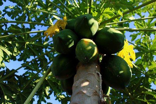 Papaya, Tree, Fruit, Green Fruit, Green, Tasty