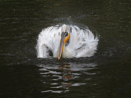 Pelican, Bird, Feather, Animal, Water, White, Wing