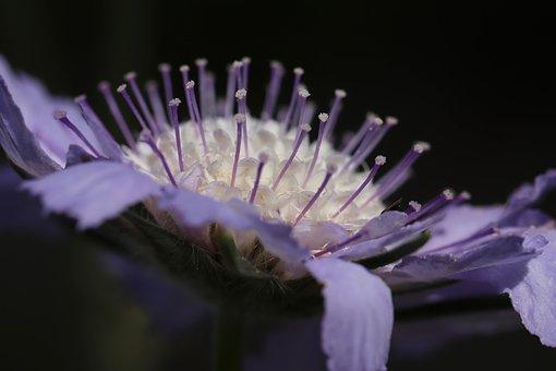 Scabiosa Columbaria, Pincushion Flower