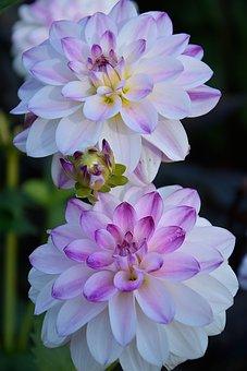 Dahlias, Flowers, Dahlia, Blossom, Bloom, Nature, Plant