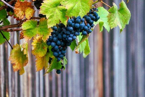 Grapes, Wine, Fruit, Vine, Vines, Sweet, Leaves, Ripe