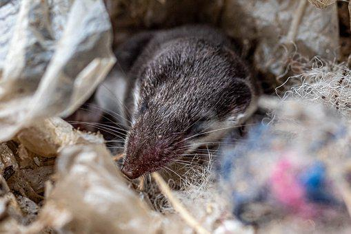 Mouse, Shrew, Dormouse, Animal, Rodent, Nature, Sweet