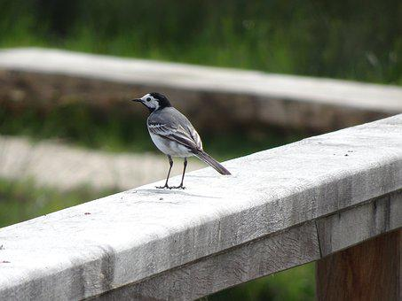 White Wagtail, Birds, Sparrows, Animals, Field, Nature
