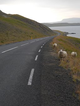 Path, Sheep, Nature, The Sky, Animals, The Fjord