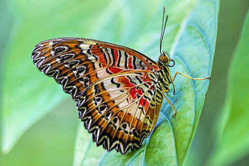 Red Lacewing, Butterfly, Nature, Wing, Green Nature