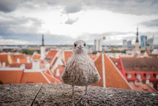 Seagull, Bird, Estonia, Tallinn, Flying, Nature, Animal
