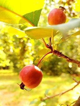 Apple, Fruit, Red, Fresh, Apples, Orchard, Harvest