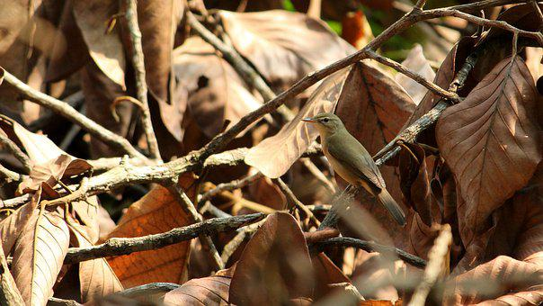 Kerala, India, Warbler, Bird, Avian, Small, Standing