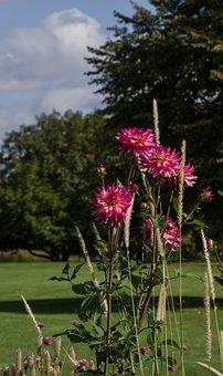 Dahlia, Flower, Blossom, Bloom, Nature, Plant