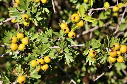 Hawthorn, Fruit, Nature, Land, Green, Branch, Leaves